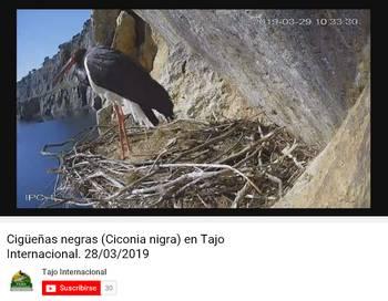 Cigüeñas negras (Ciconia nigra) en Tajo Internacional.