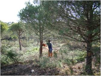 Poda de formación de pinos adultos