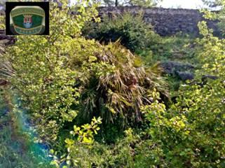 Fotografía del, palmito encontrado en Jerez de los Caballeros